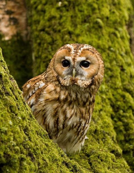 Tawny Owl (c) by DannoM