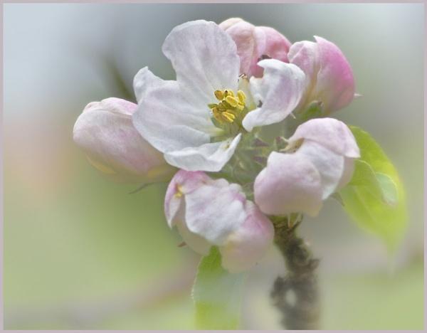 Apple Blossom by Daisymaye