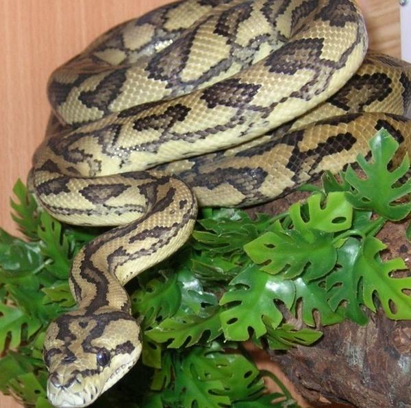 Carpet Python by morelia