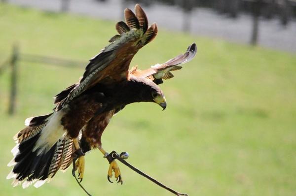 hawk 1 by vickib