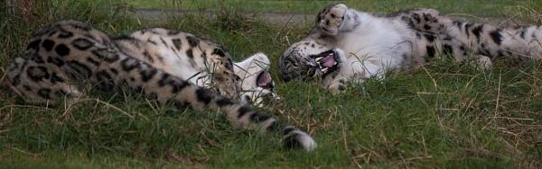 Snow Leopards by baclark
