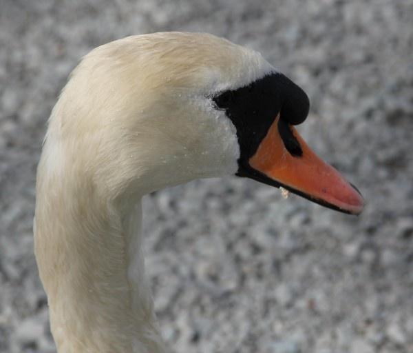 Swans Head by liamfarrelly