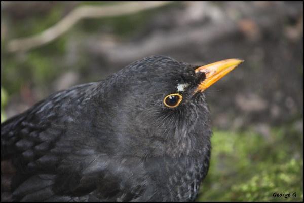 A Blackbird by Georges_photos
