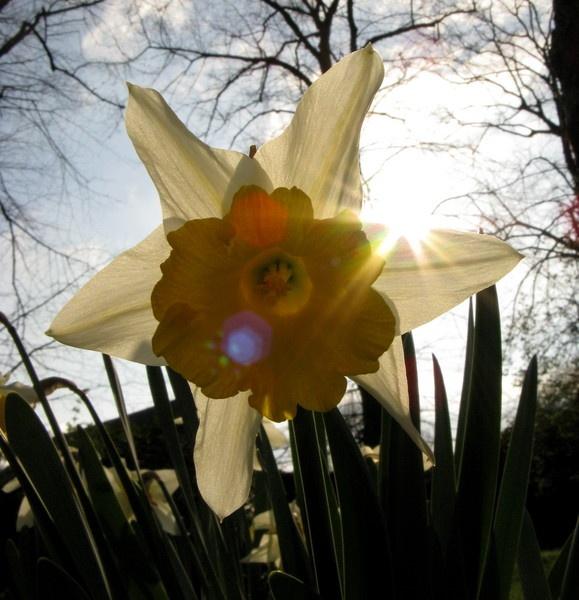 single white flower (with sunbeams) by stoplooklisten