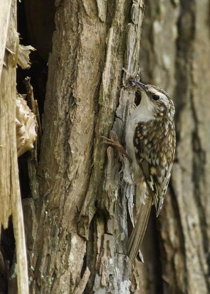 Nesting treecreeper by AndyBee
