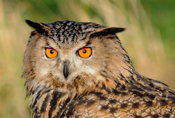 Eagle Owl by ChrisB53
