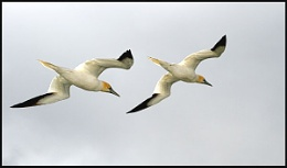Gannets flying by