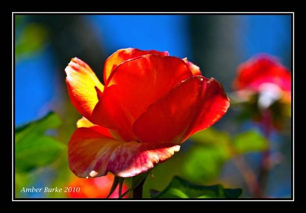Rosebud in blue light by ABurke
