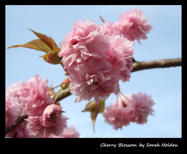 Cherry Blossom by SLH1979