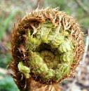 Opening fern