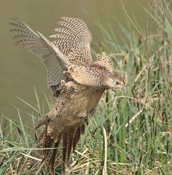 Hen Pheasant by GeminiNeil