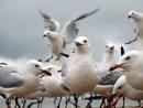 A flock of Seagulls 2