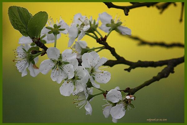 spring blossom by andymark