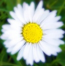 Daisy with grass