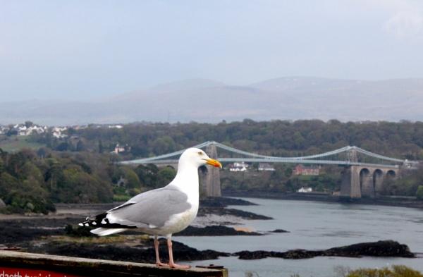 Seagull at menai by bellababe