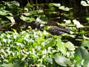 Gator in Lillies