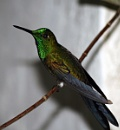 Rufous Green crowned Hummingbird