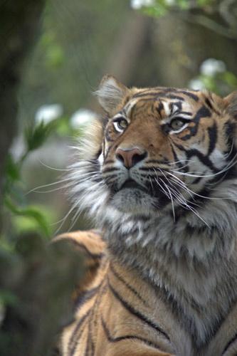 Sumatran Tiger by redcall35