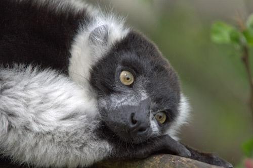 Black & White Lemur by redcall35