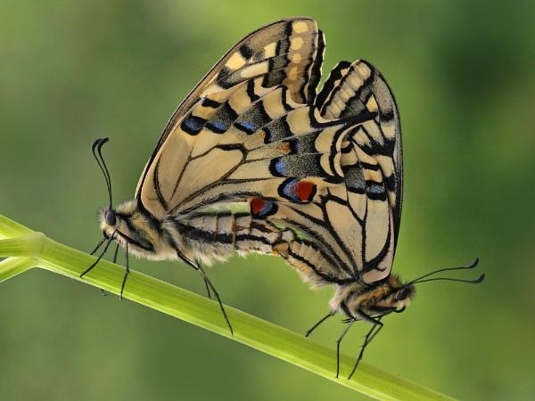 Swallowtail Summer by Julian