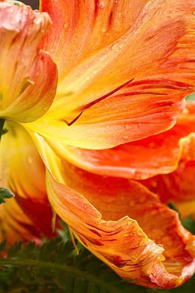 The scruffiest tulip I\'ve ever seen by AlanPerkins