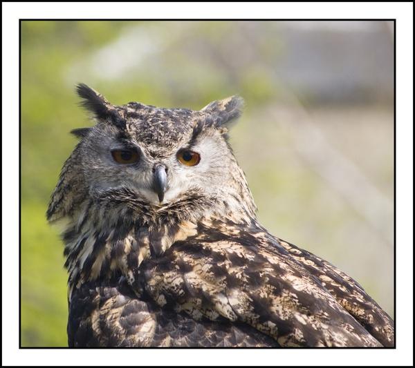 eagleowl by pitball45