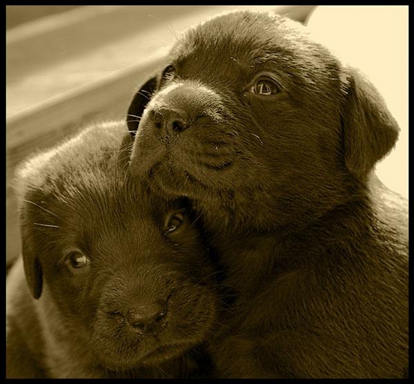Chocolate Labrador Puppies by dormouse1976