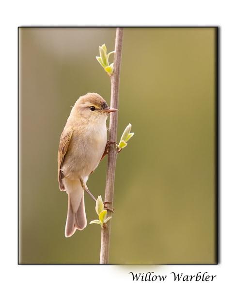 Willow Warbler by harrattp
