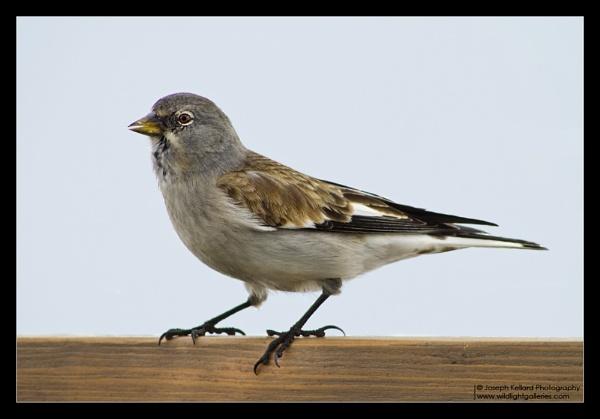 Snow Finch by WildLight