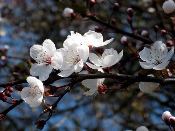 blossom by firepoi69