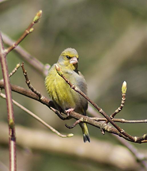 Greenfinch by SiSheff