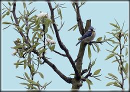 Blue tit in a pear tree