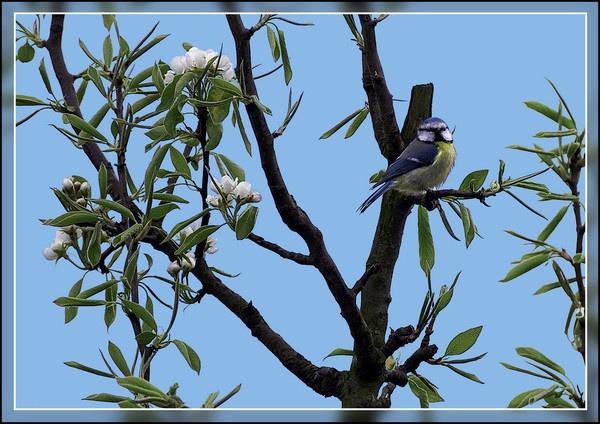 Blue tit in a pear tree by peel3081