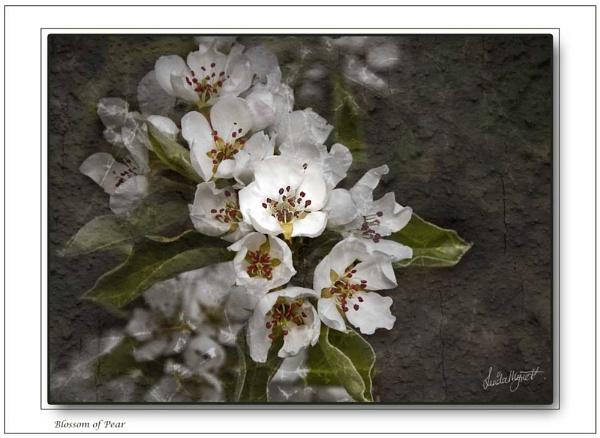 *Blossom of Pear by Mynett