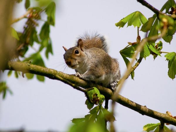 Squirrel by HuntedDragon