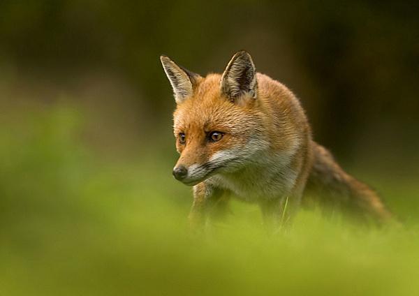 Stealth fox by Enmark