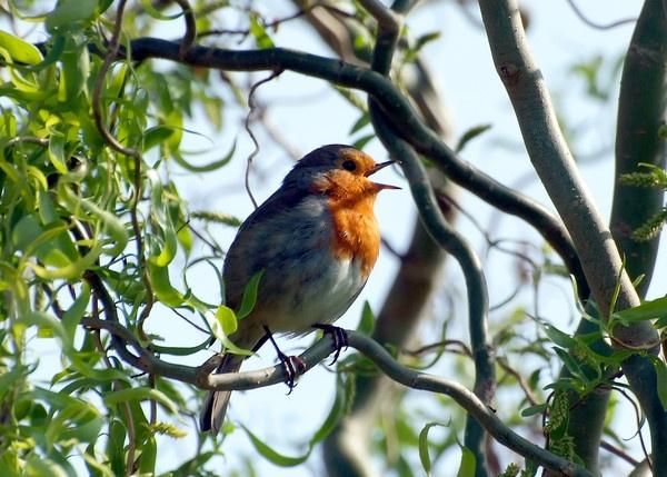 Robin by Nick_G