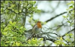 Robin in tree singing