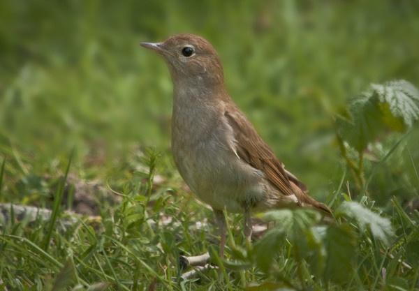 Nightingale (Luscinia megarhynchos) by Gio