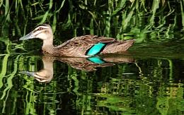 ''Pacific Black Duck''