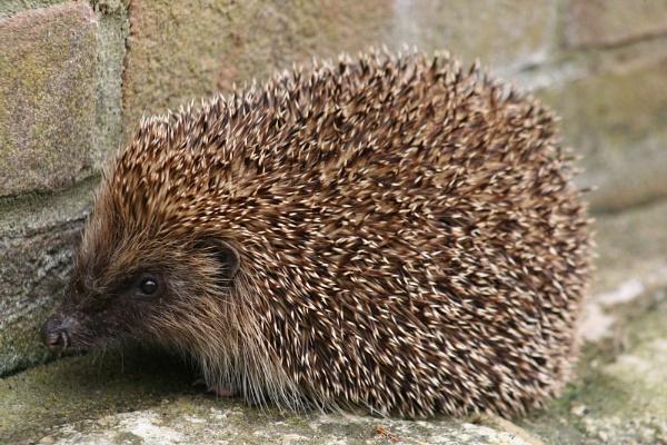 Hedgehog Erinaceus europaeus by LukeParkinson