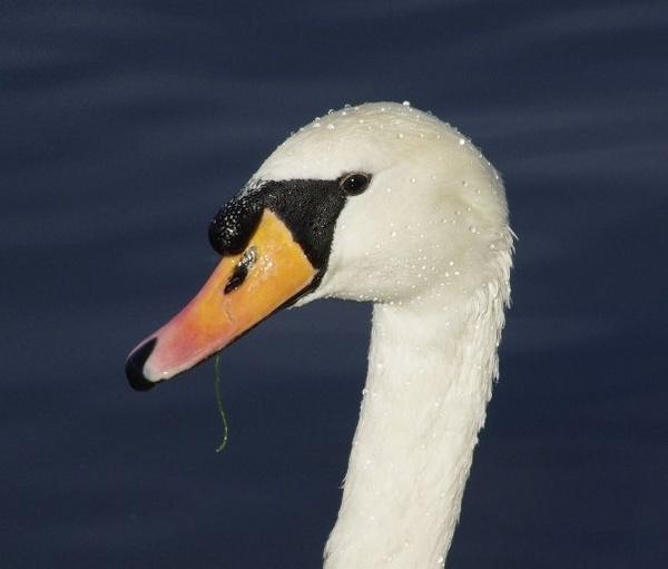Portrait of a Swan by Pentaxpaul