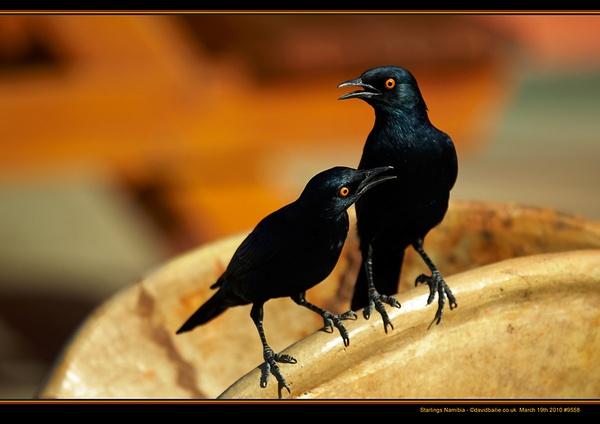 Starlings by davidbailie