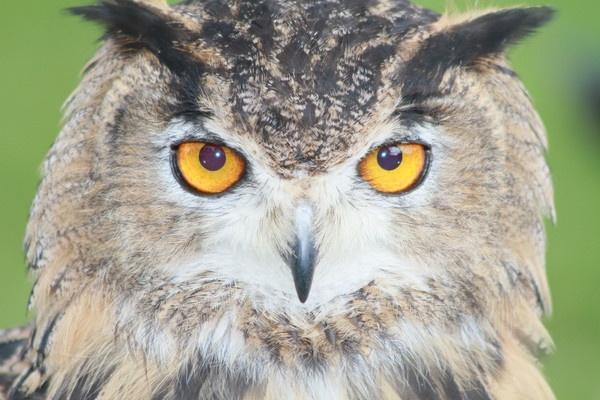 eagle owl by gingerbenno