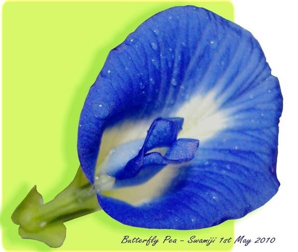 Butterfly Pea by Swamiji