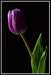 Single Purple Tulip