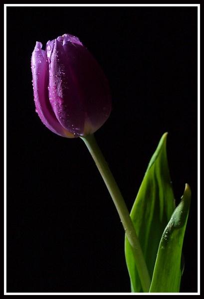 Single Purple Tulip by Mike_Long