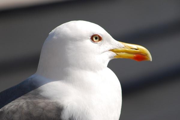 Seagull by BobThomas