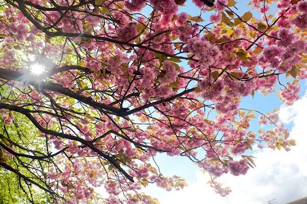 Cherry Blossom by karen1961