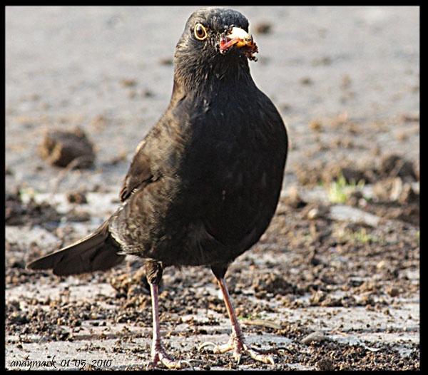 blackbird by andymark